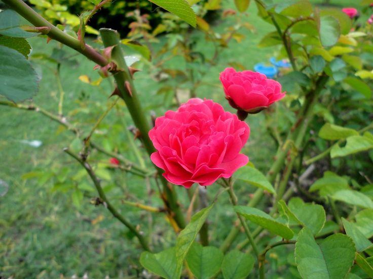 Rosa (Rosa chinensis)