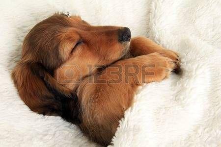 puppy wiener dog: De pelo largo Dachshund cachorro durmiendo en su cama