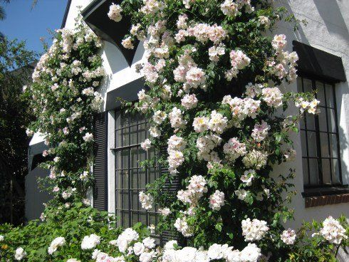 growing climbing roses