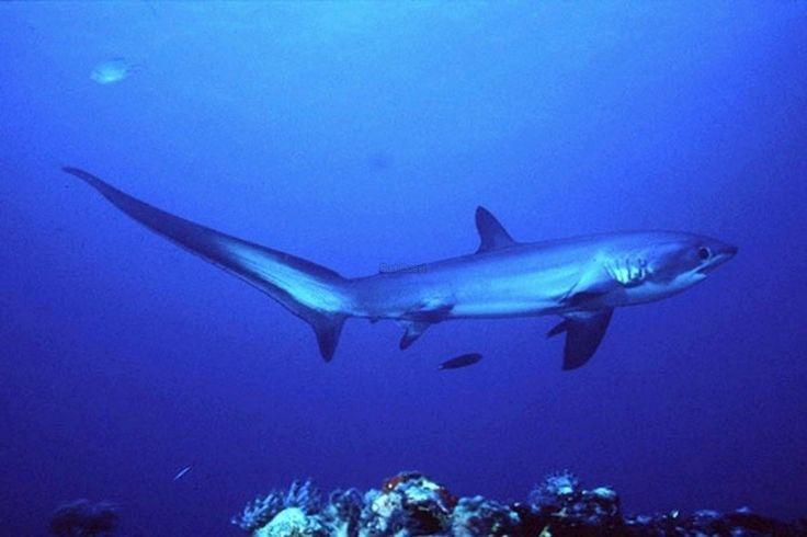 il existe 3 sortes de requins-renards : Alopias vulpinus – Requin-renard commun Alopias pelagicus – Requin-renard pélagique Alopias superciliosus – Requin-renard à gros yeux