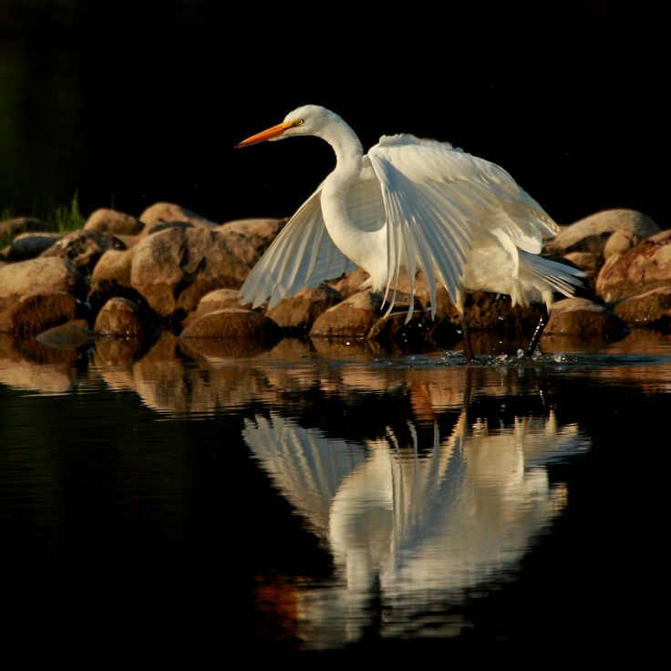 Great Egret... I am so happy & grateful that the River of Life never stops flowing... It flows through me into lavish expression! My thoughts are directed exclusively towards abundance. Infinite riches are flowing to me easily and effortlessly. Extraordinary Abundance is all around me, I AM provided with abundance at any time and in every situation!! THANK YOU... Abundance Now and Always... AND SO IT IS!