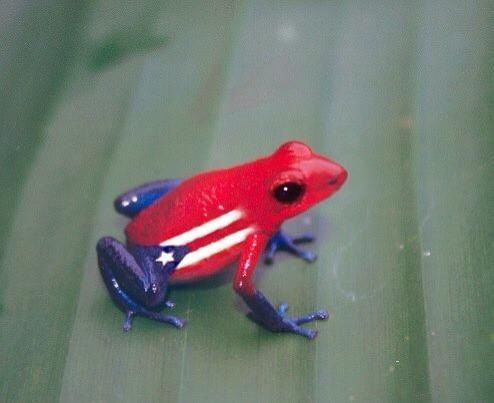 314 best images about isla del encanto puerto rico for Puerto rican frog tattoo