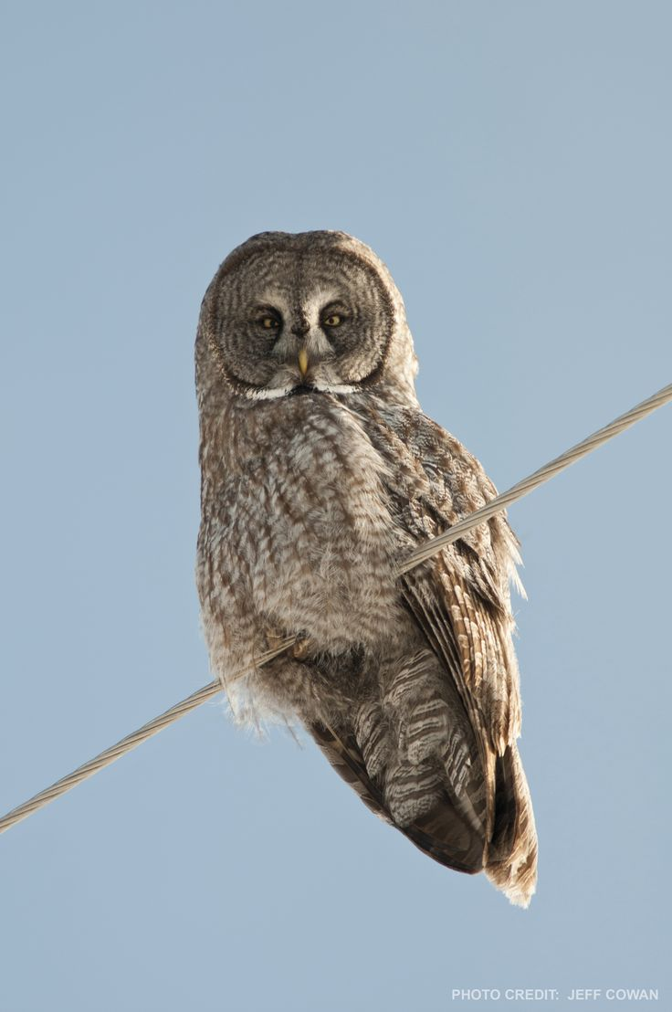 Great Grey Owls flourish in this region due to the abundance of small prey.