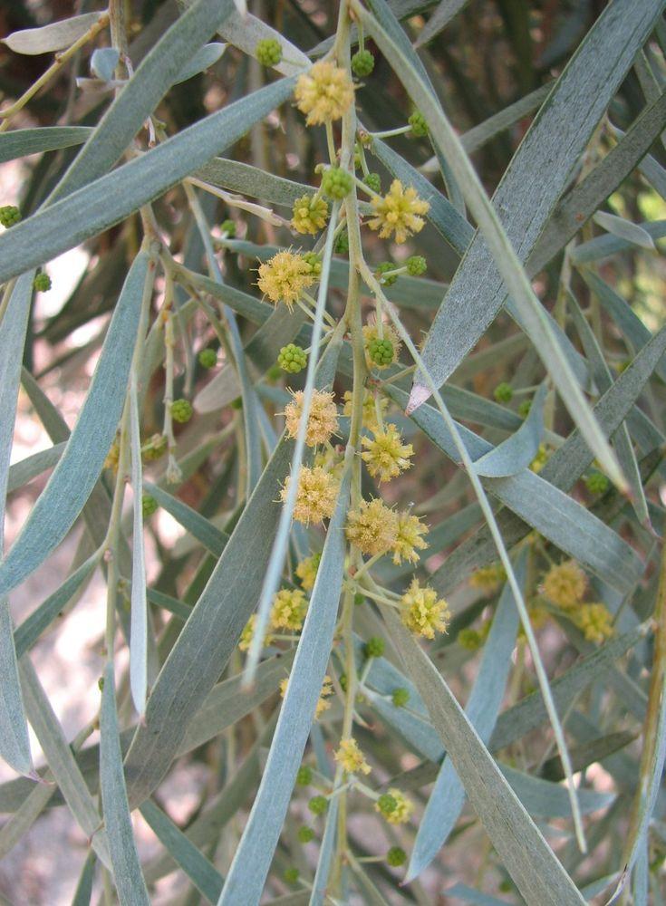 acacia pendula | weeping myall