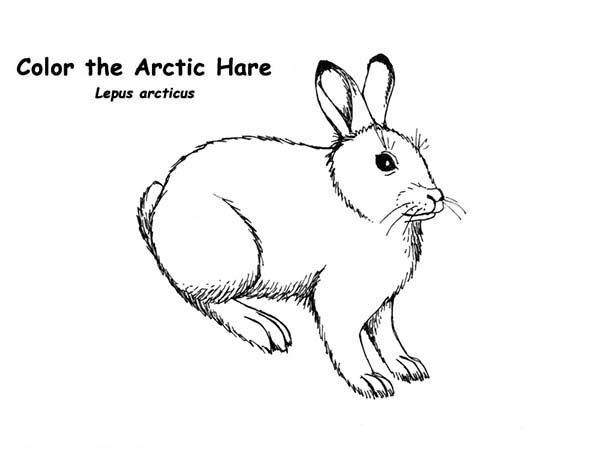 Arctic Animals The Arctic Hare In Arctic Animals Coloring Page