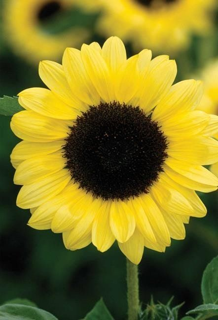 Growing sunflowers from seed is easy and fun.  Find out how to grow the best plants here.
