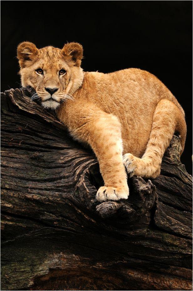 Lion Cub by Svenimal                                                       …