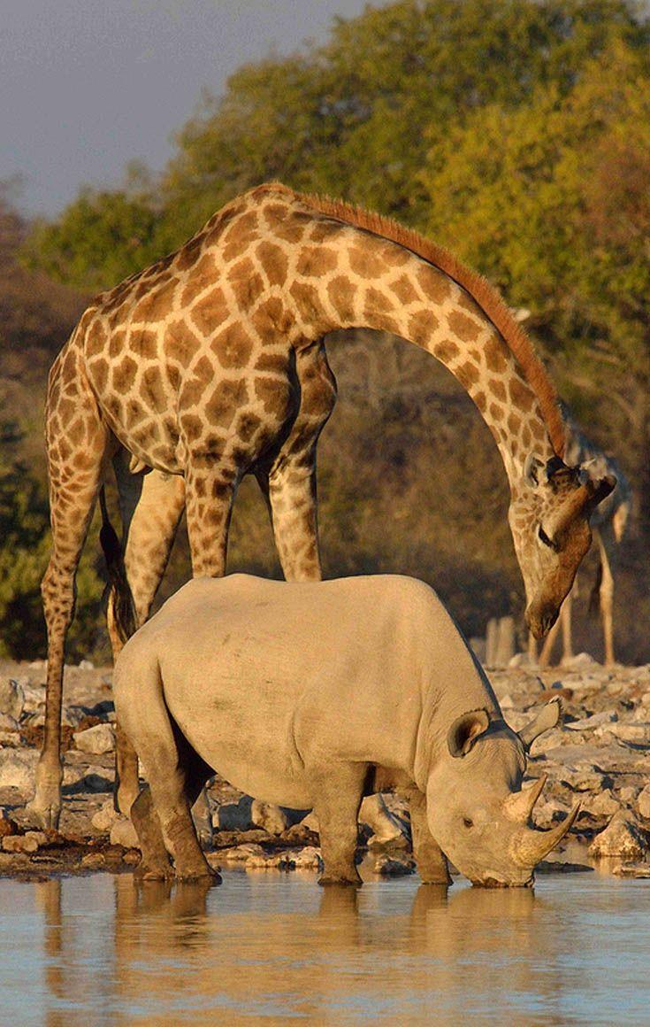 black rhino and giraffe at Klein Natutoni waterhole, Etosha national park, Namibia