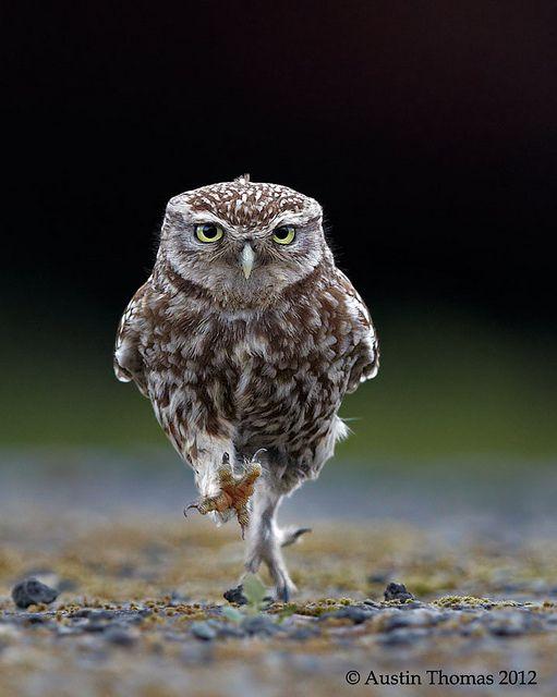 Run Owl Run!