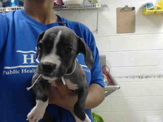 This DOG - ID#A468962 - URGENT - Harris County Animal Shelter in Houston, Texas - ADOPT OR FOSTER - 6 WEEK OLD Female Boxer - at the shelter since Sep 23, 2016.