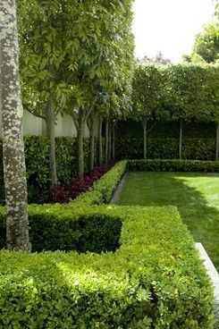 Pleached titoki by Humphreys Landscaping