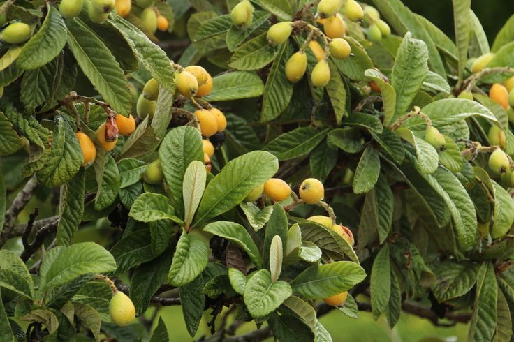 Loquat (Eriobotrya Japonica), also known as Japanese plum, or nispero, is a really tasty fruit whose leaves have significant antihistamine, mast cell stabilising, and anti-inflammatory properties. Here's where to find it, and how you might make use of it.Please remember even antihistamine foods can cause problems... LOQUAT AS AN ANTIHISTAMINE FOOD I grew up plucking nisperos straight from the trees in Spain. They're unlike any fruit I've ever tasted: sweet, with a bit of sour, a ...