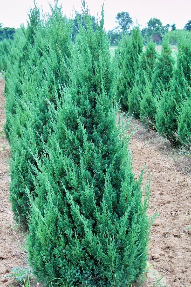 Juniper Iowa Must Have Plants Pinterest Garden Shrubs