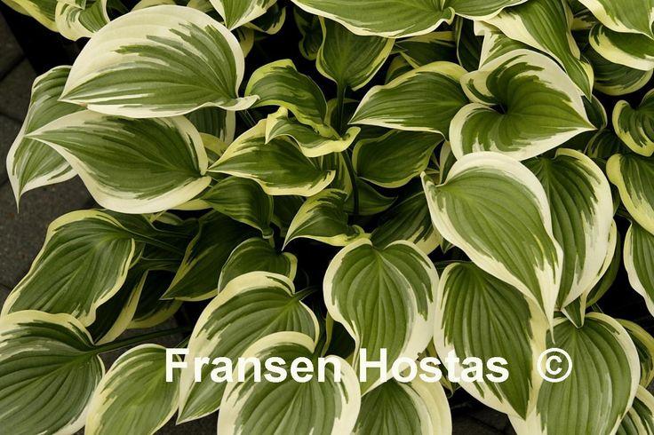 Hosta 'Emily Dickinson' € 6,00  Glimmend groen blad met een gele, later witte rand, 'Neat Splash' x plantaginea hybride.   Hosta 'Emily Dickinson' is een medium Hosta met geurende lila paarse bloemen en groeit in zon/schaduw. De hoogte is 35 tot 40 cm en de groei is snel tot gemiddeld.