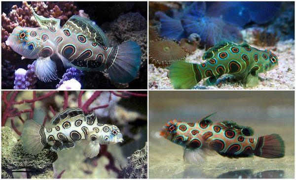 spotted mandarin marine aquarium fish #aquarium #fish