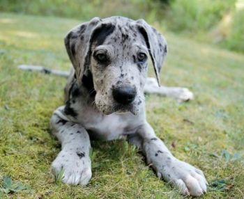 gran danes cachorro - Buscar con Google