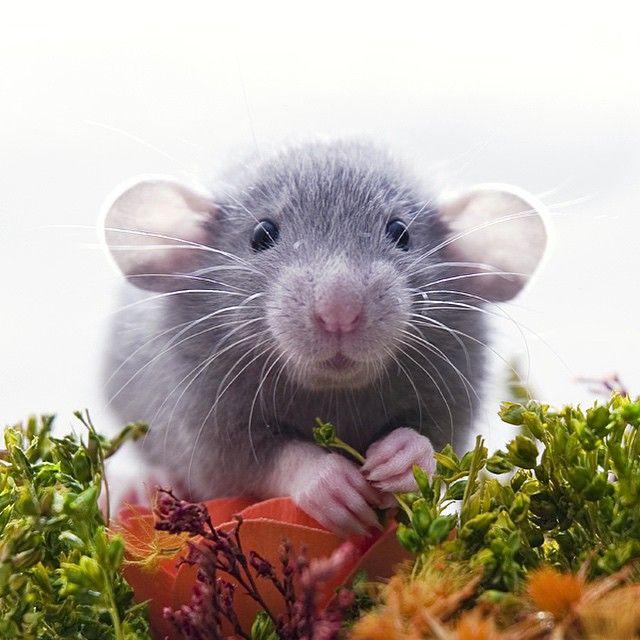 Aww, I do adore ratties; pity I am allergic to them