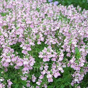 Nemesia denticulata (Nemesia) -low growing, fast growing plant