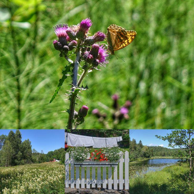norge | sørlandet | risør | tjenndalen | sommerfugl