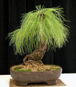 This Pinus elliottii is native to South Florida. Common name: slash pine. It is not frequently used as bonsai. This one, created by Mary Miller, was often called by fun nicknames such as 'Hairy Harry'