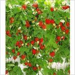 PN4020 Pflanzen - Obstpflanzen - Beeren - Hänge-Erdbeere 'Hummi®',3 Pflanzen