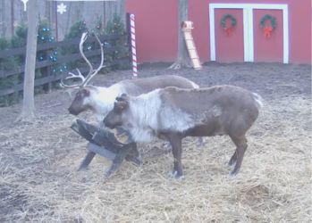 Check it out--a 'live' feed to see Santa's reindeer. You can also watch Santa feed the reindeer twice a day!