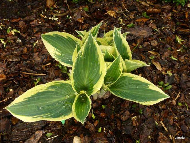 Zielono Zakręceni: Funkia (Hosta) El Nino (1/1)