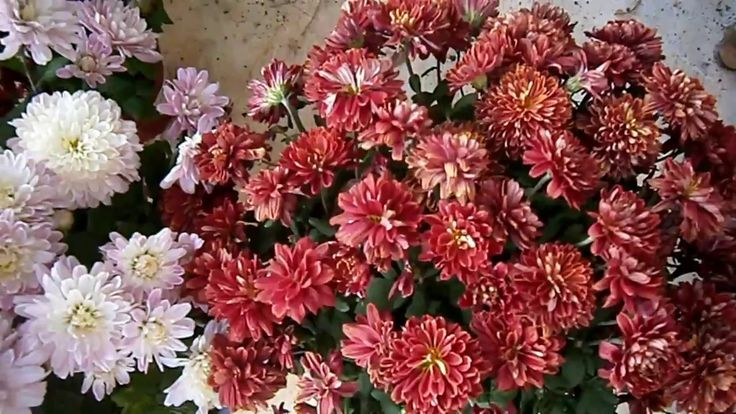 How to grow Chrysanthemums - Plant project