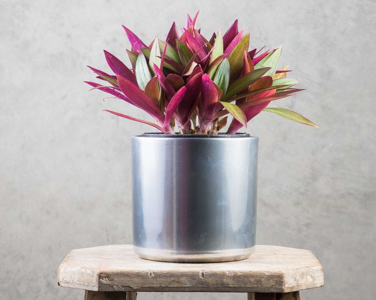Rhoeo Discolour - add the tropics to your space with this beauty