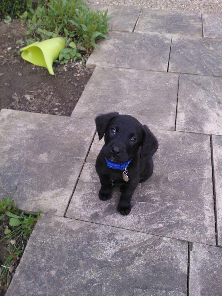 Toby dog, the Springador #springador #labrador #springerspaniel #puppy