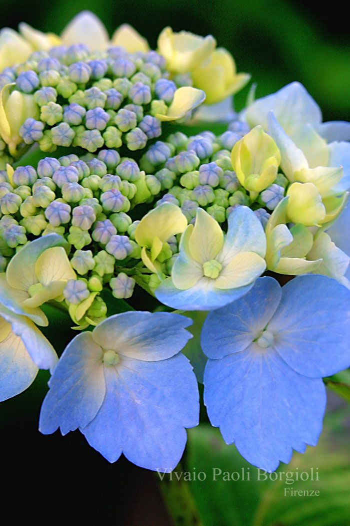 Blue Hydrangea serrata 'Blue deckle'
