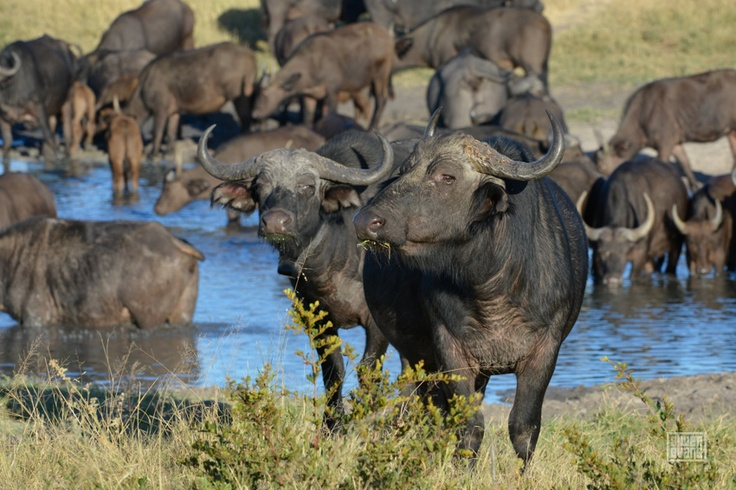 There aren't that many places one can still find the great herds. Hwange.