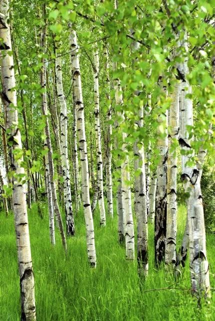 Aspens clapping their hands in praise.