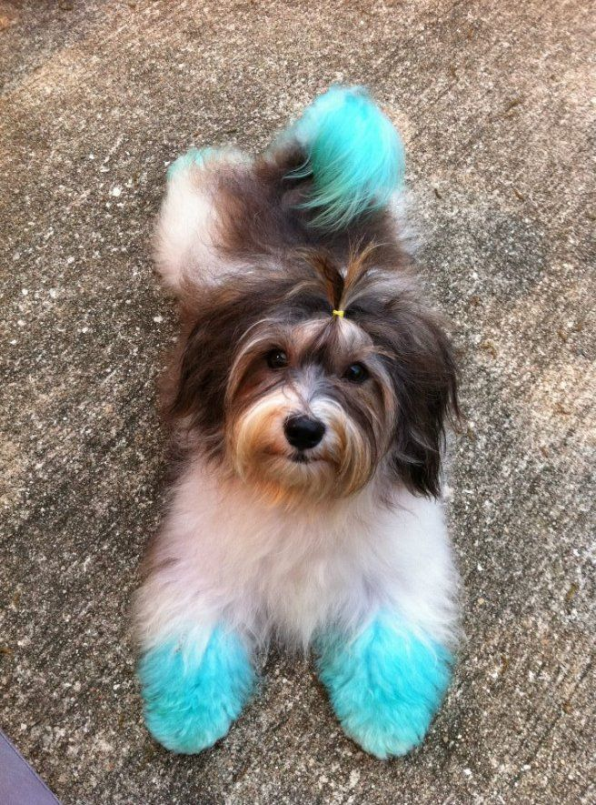 Color fun with Havanese - Poodle Forum - Standard Poodle, Toy ...