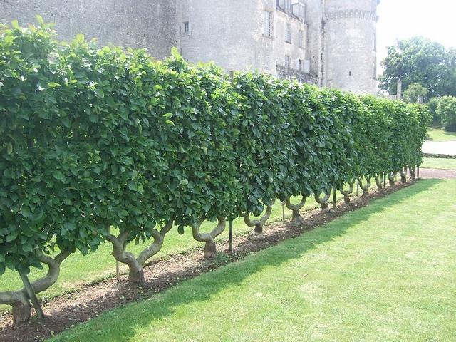Espalier Apple Trees by Destination Europe, via Flickr