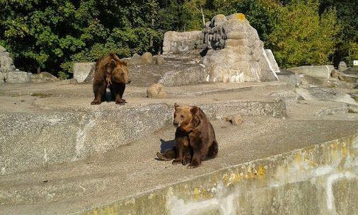W warszawskim zoo. #niedzwiedzbrunatny, #UrsusArctos