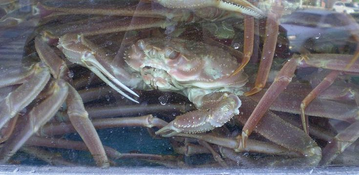Bairdi crab vs Opilio crab One can hardly help being amazed by the various different types of creatures that walk the Earth. With thousands and thousands of creatures already discovered, scientists…
