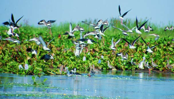 Chilika Lake in Odisha (Orissa) is Asia's biggest salt water pond studded with few tiny islands including the most charming Honeymoon Island. Chilika Lake is being treated as the real paradise for the bird lovers & ornithologists since the whole vicinity attracts large number of aquatic birds preferably in winters for the migratory counts.