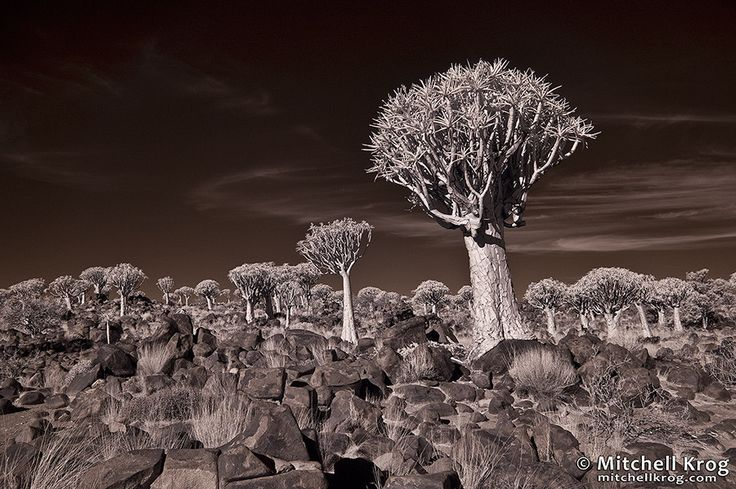 Quiver Tree Forest Landscape, Namibia in Infrared by Mitchell Krog on 500px