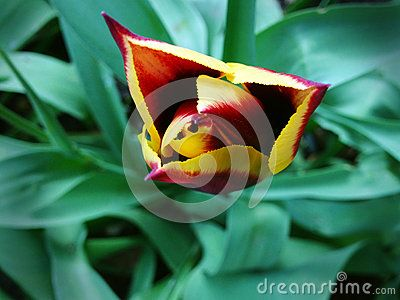 Download Tulip Royalty Free Stock Photos for free or as low as 0.68 lei. New users enjoy 60% OFF. 22,949,468 high-resolution stock photos and vector illustrations. Image: 39875348