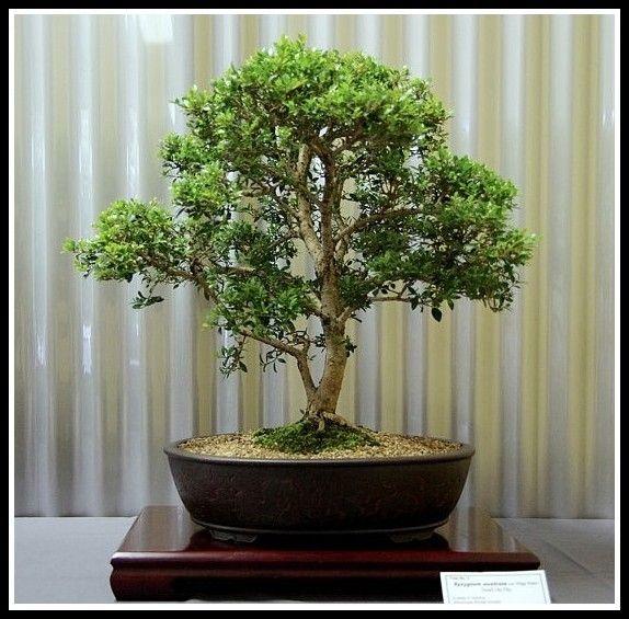Native plant bonsai - this one is Tiny Trev lillipilli