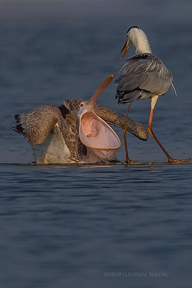 a bit of argument a Spot-billed pelican and a Grey heron ##bird ##birdphotography ##wildlife ##wildlifephotography ##nature ##naturephotography  ##ph... - Gaurav Rayal - Google+