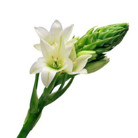 Ornithogalum  (also Chincherinchee, Star of Bethlehem)      This flower is known particularly for its ability to open in the morning and close in the evening. Add it to your bouquet or let it fill in your centerpieces.     Season  year-round    Colors  white, ivory, yellow, orange    Scent  slight to none    Meaning  purity    Cost  $$Return to wed ...