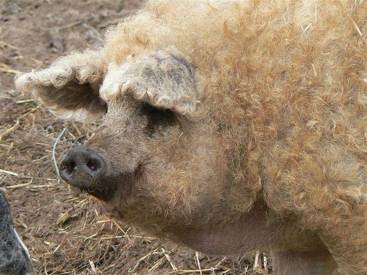 Mangalitsa, The Pig That Resembles a Sheep https://twitter.com/ogugeo/status/497735853334990852