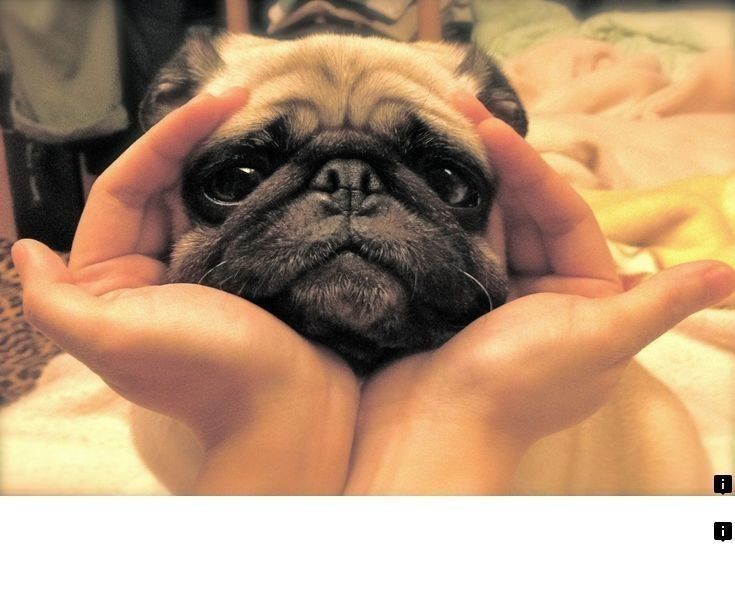 Pin On Beautiful Pug Puppies