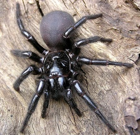 Sydney Funnel Web -  This here is the Sydney Funnel Web Spider, and  It is the deadliest spider in Australia, if not, the entire world! /follow me to pinterest.com/litded/