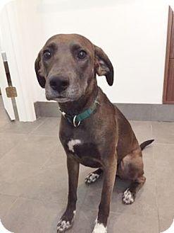 Kansas City, MO - Foxhound/American Staffordshire Terrier Mix. Meet Virginia Woof, a dog for adoption. http://www.adoptapet.com/pet/18261242-kansas-city-missouri-foxhound-mix