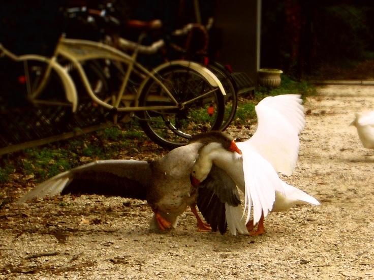 goose fighting!   (during the making of Talco brand new video c/o forte carpenedo, mestre - venice) - http://www.myspace.com/talcopatchanka