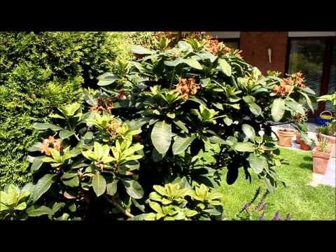 Rhododendron: Pflege, Wuchs, Schneiden, Standort | Garten-Freunde
