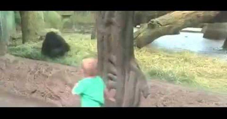 Este vídeo publicado en la cuenta de Facebook del Calumbus Zoo de Ohio, en Estados Unidos nos muestra un momento sin igual entre un niño de dos años de nombre Isaiah con el pequeño gorila del zoológico. Cuando estos dos, son captados jugando a las escondidas uno con el otro a pesar del vidrio de protección que los separaba, ya que ambos se divirtieron jugando por más de cinco minutos a correr y esconderse.